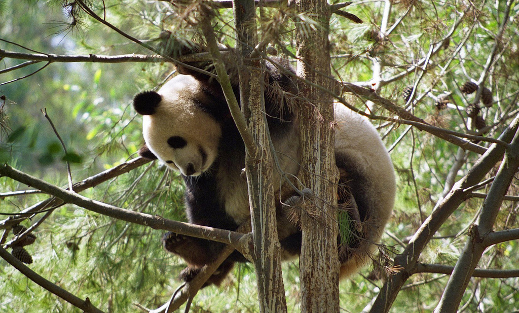 A Giant panda sits in a tree. By Brian Snelson