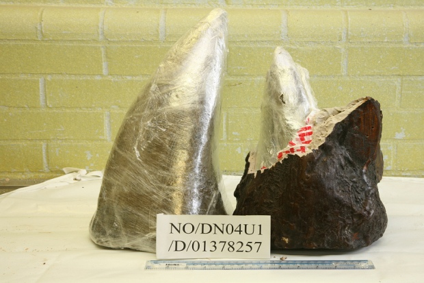 A picture of 2 rhino horns, taken by the uk home office